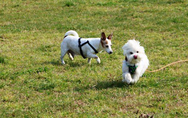 Due cani stanno camminando in un parco - Sputnik Italia