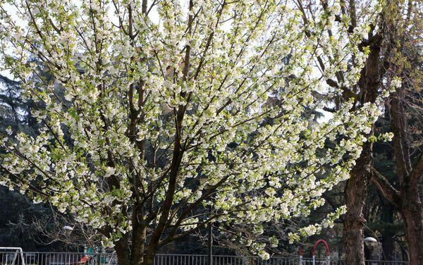 I fiori degli alberi in un parco di Milano - Sputnik Italia