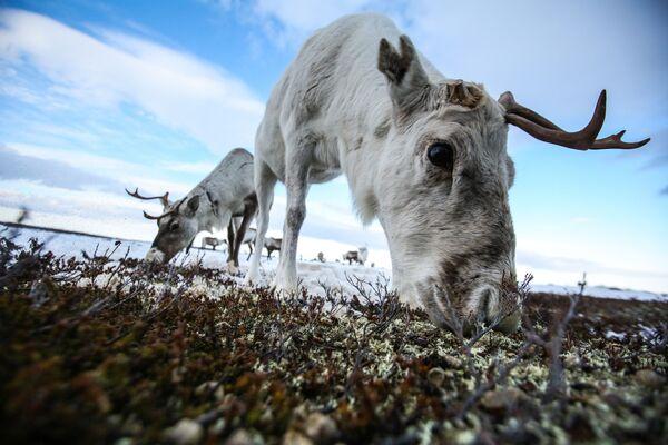 Le renne vicino al villaggio di Lovozero, nella regione di Murmansk, in Russia. - Sputnik Italia