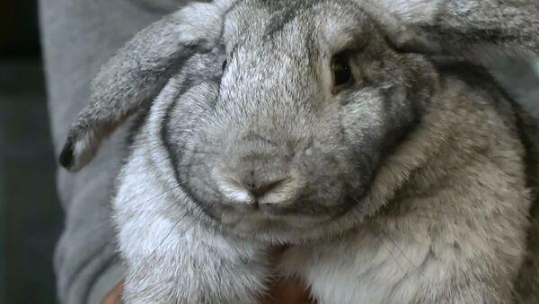 Grande coniglio - Sputnik Italia
