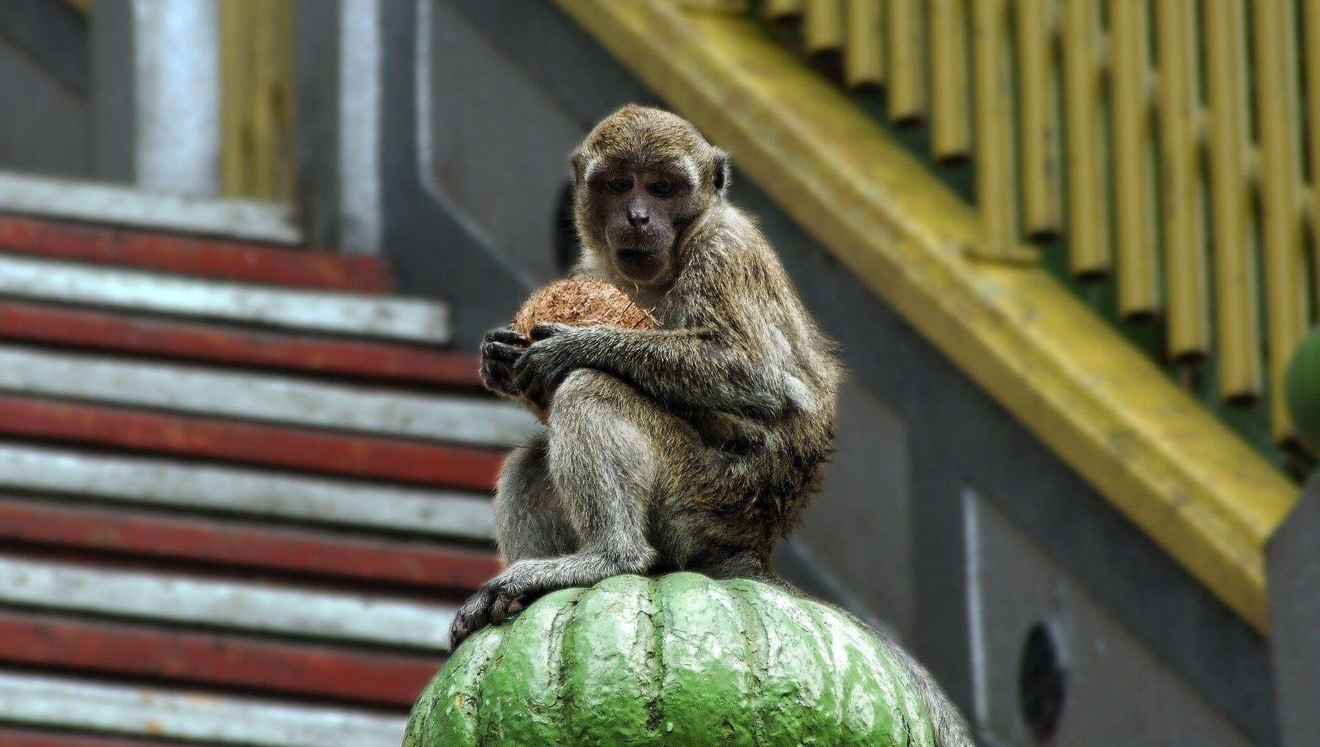 Monkey  - Sputnik Italia, 1920, 09.04.2021
