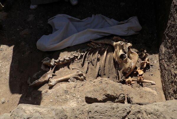 I resti scheletrici di animali dalla Città d'oro perduta'', che è stata scoperta dagli archeologi, nei pressi di Luxor, nell'Alto Egitto, il 10 aprile 2021 - Sputnik Italia