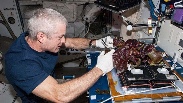 L'astronauta americano Stephen Swanson raccoglie insalata coltivata sulla ISS - Sputnik Italia