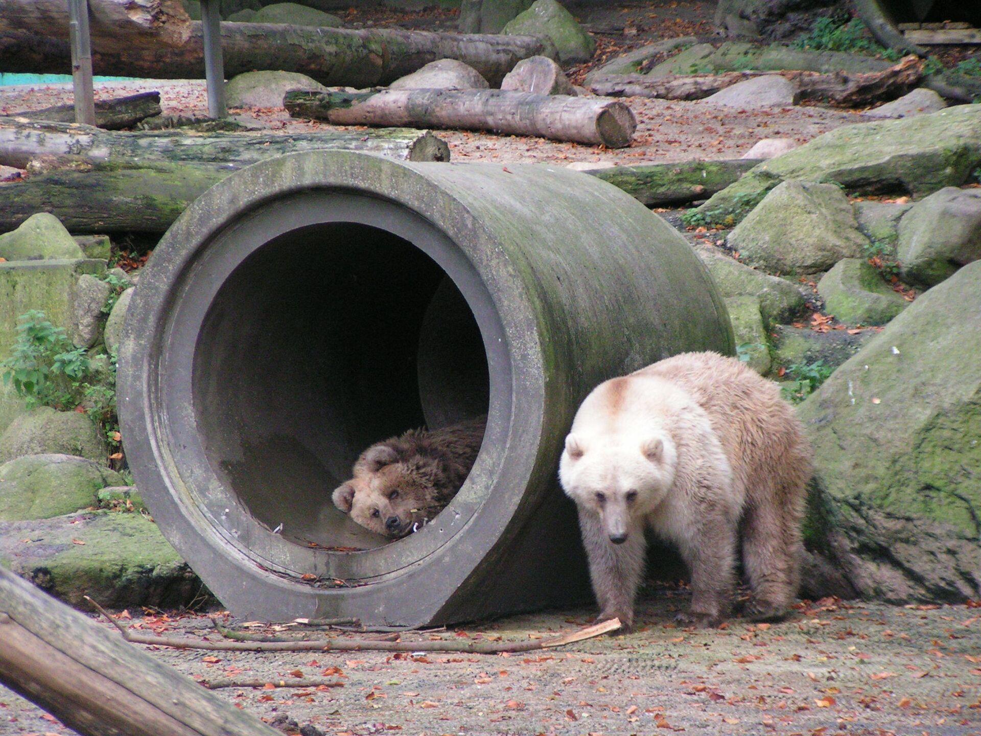 Ibrido di orso bianco e marrone allo zoo di Osnabrück - Sputnik Italia, 1920, 18.05.2021