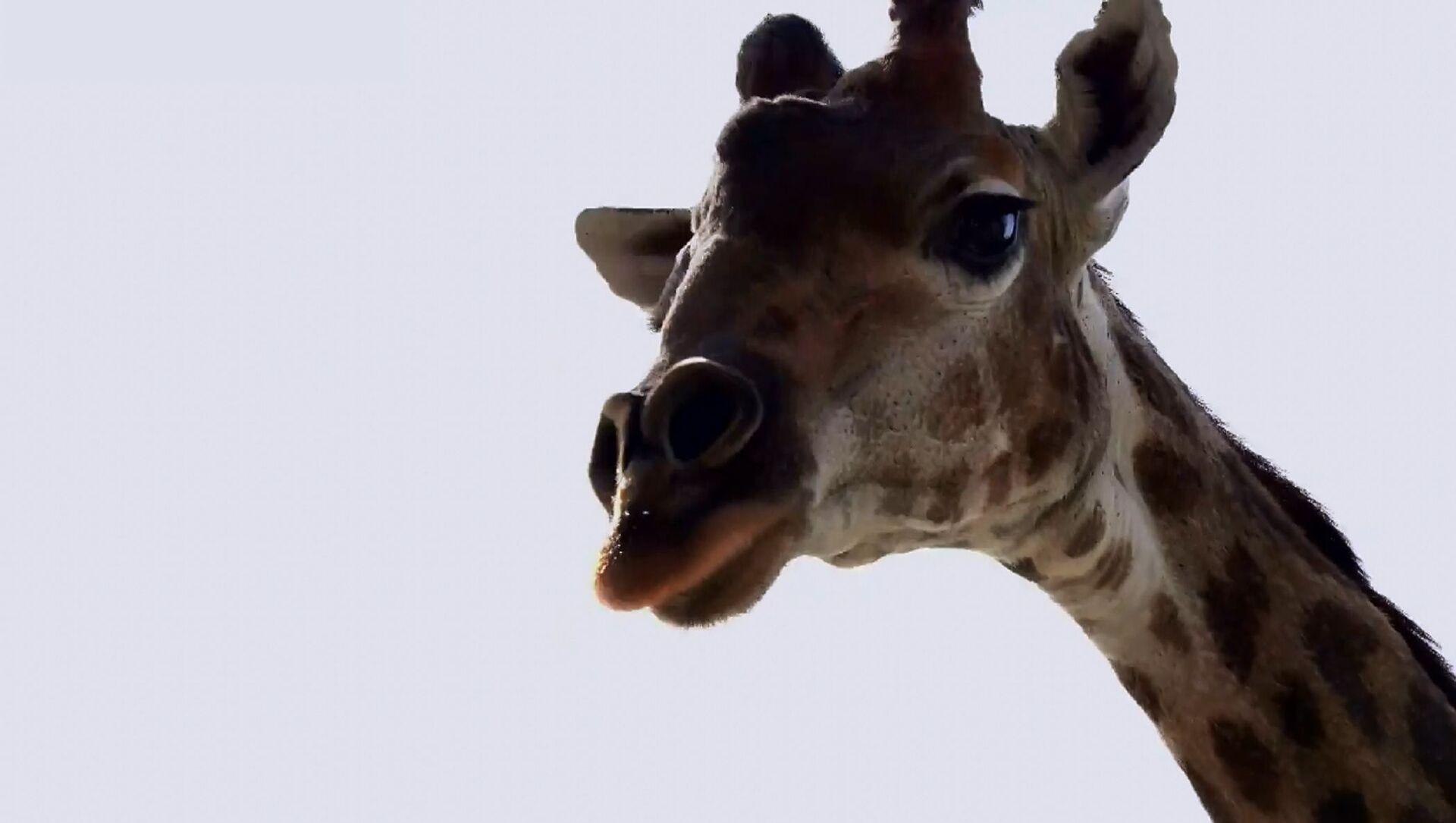 Giraffa nello zoo di Mosca si gode il ritorno al recinto aperto  - Sputnik Italia, 1920, 16.04.2021