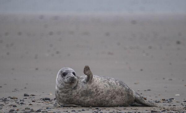 Una foca grigia in spiaggia dell'arcipelago tedesco di Helgoland, il 5 gennaio 2020 - Sputnik Italia