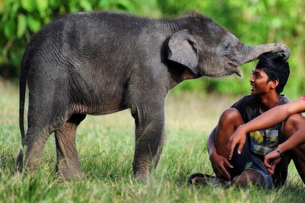 Un cucciolo di elefante di Sumatra presso l'area dell'ecosistema di Leuser nelle province di Aceh e Nord Sumatra - Sputnik Italia