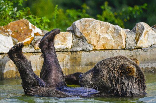 Un orso bruno si raffredda in una piscina presso il santuario degli orsi nei pressi del villaggio di Mramor, Kosovo, il 18 agosto 2020 - Sputnik Italia