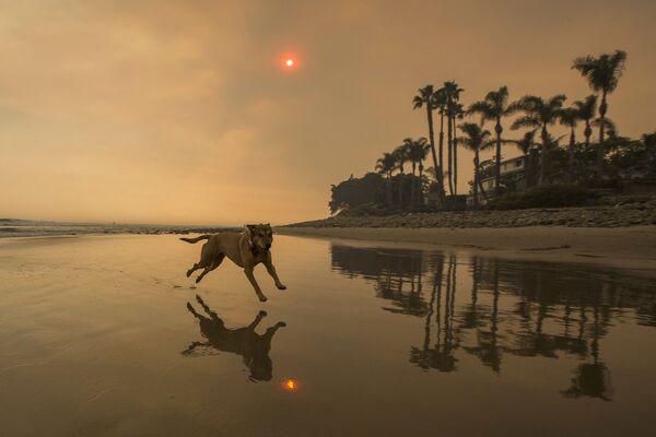 Un cane in spiaggia a Santa Barbara  in California, USA, il 12 dicembre 2017 - Sputnik Italia