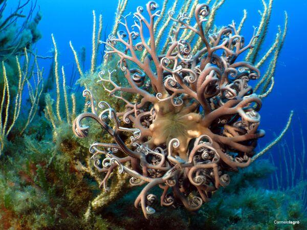 Astrospartus mediterraneus, la foto scattata sott'acqua nell' Area Marina Protetta Capo Milazzo - Sputnik Italia