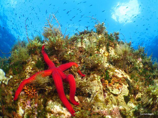 Stella marina, la foto scattata sott'acqua nell' Area Marina Protetta Capo Milazzo - Sputnik Italia