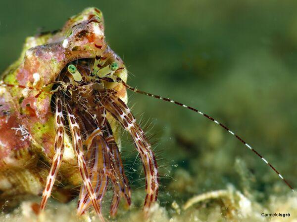 Granchio, la foto scattata sott'acqua nell' Area Marina Protetta Capo Milazzo - Sputnik Italia