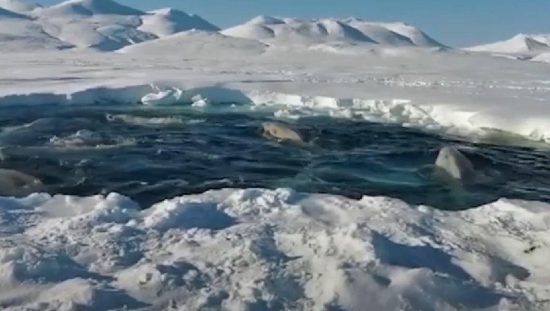 Beluga: sopravvivere alla trappola di ghiaccio - Sputnik Italia, 1920, 28.04.2021