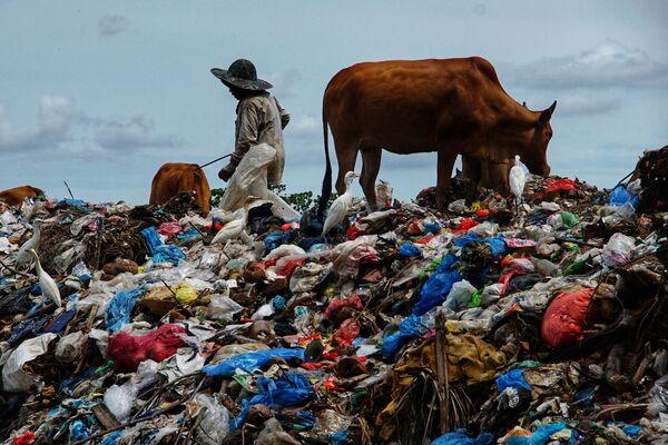 Un pastore porta le sue mucche a pascolare sulla spazzatura raccolta dopo la festa di Eid al-Fitr, discarica di Alue Liem a Lhokseumawe, Indonesia, il 17 maggio 2021. - Sputnik Italia
