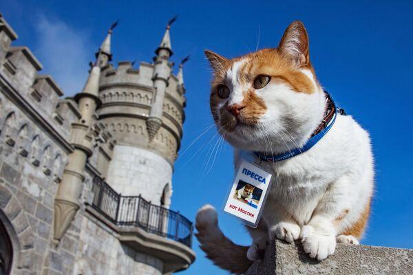 Il famoso gatto Mostyk, mascotte della costruzione del ponte di Crimea, vive nella filiale regionale di MIA Rossiya Segodnya a Sinferopoli. - Sputnik Italia