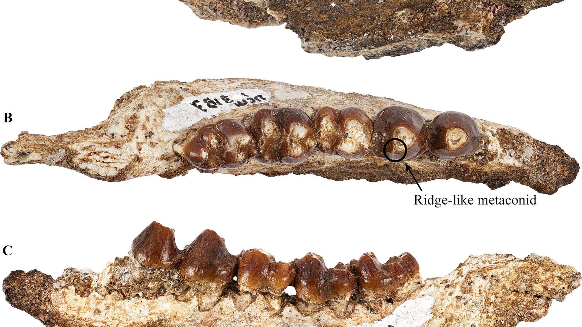 Ricercatori scoprono antenati dei mammiferi apparsi improvvisamente dopo estinzione dinosauri - Sputnik Italia, 1920, 19.08.2021