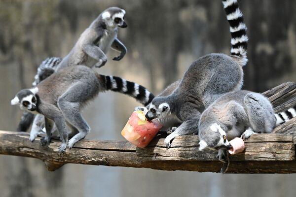 I lemuri mangiano frutta congelata per rinfrescarsi nel Bioparco di Roma quando le temperature hanno raggiunto i 37 gradi Celsius il 16 agosto 2021. - Sputnik Italia