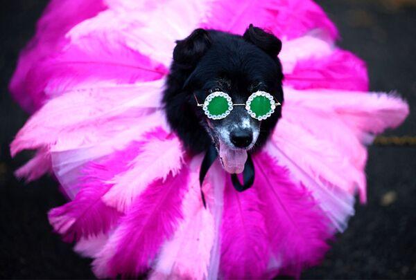 Un cane vestito da Rihanna partecipa alla Tompkins Square Halloween Dog Parade a Manhattan, New York, USA, il 20 ottobre 2019. - Sputnik Italia