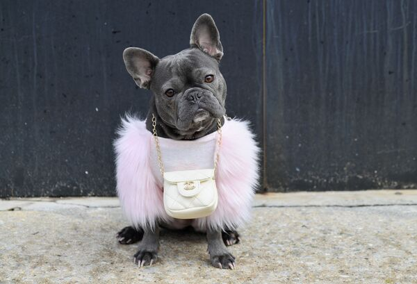 Un bulldog francese di nome Magnolia con una borsa Chanel davanti a Spring Studios durante la New York Fashion Week: The Shows (NYFW) il 16 febbraio 2021 a New York, USA.  - Sputnik Italia