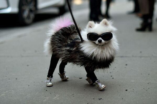 Cucciolo con gli occhiali da sole alla moda  alla stazione di Moynihan durante la settimana della moda di New York: The Shows at XX, il 12 febbraio 2016 a New York, USA.  - Sputnik Italia