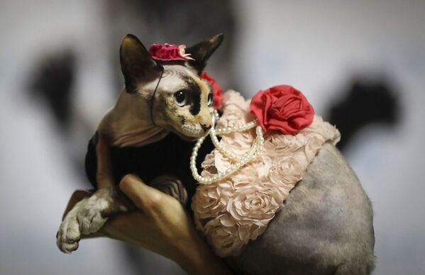 Una donna mostra il suo gatto in un costume alla moda durante una mostra di gatti a Minsk, Bielorussia, il 16 febbraio 2020. - Sputnik Italia