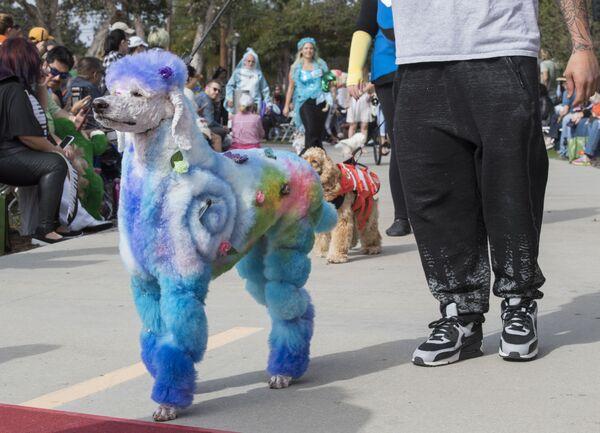 I cani e i loro proprietari sfilano sul tappeto rosso all'annuale parata Haute Dog Howl'oween a Long Beach, California, il 27 ottobre 2019. - Sputnik Italia