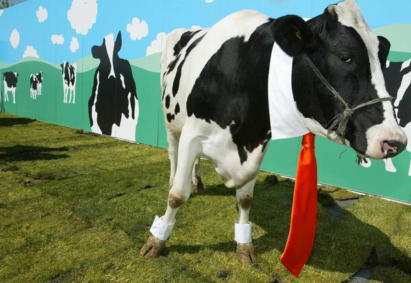 Una mucca indossa gli abiti del designer spagnolo David Delfin a San Sebastian de los Reyes vicino a Madrid, il 26 aprile 2004. - Sputnik Italia