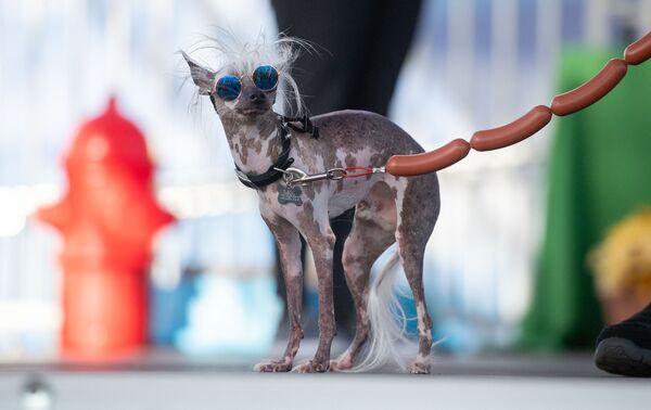 Rascal Deux, con la sua faccia storta, due occhi di colore diverso e una lingua sciolta, esce sul palco durante la mostra dei cani più brutti del mondo a Petaluma, in California, il 21 giugno 2019. - Sputnik Italia