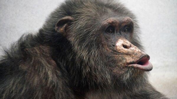 Chimpancé - Sputnik Italia