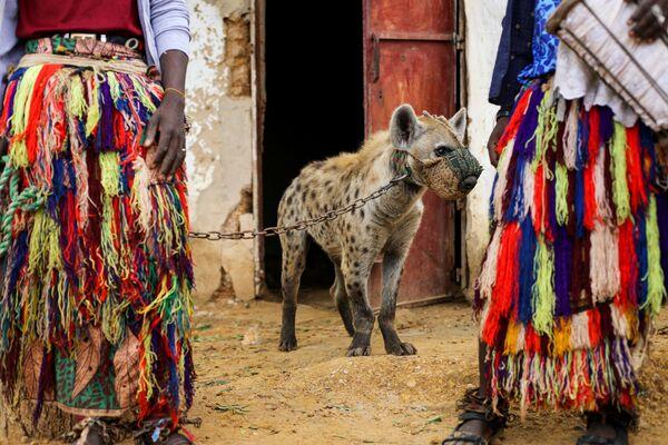 Una iena al giunzaglio in un circo a Gabasawa, in Nigeria. - Sputnik Italia