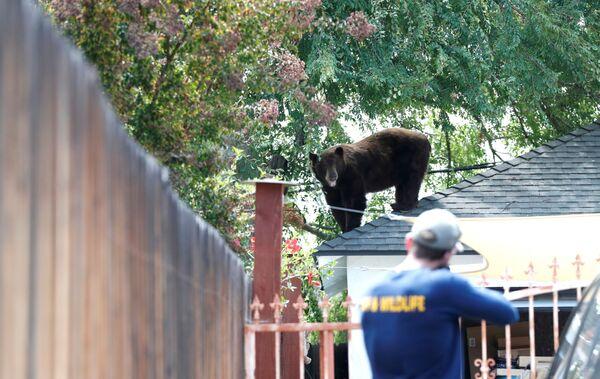Un ufficiale del Department of Fish and Wildlife in California si prepara a tranquillizzare un orso, Stati Uniti. - Sputnik Italia