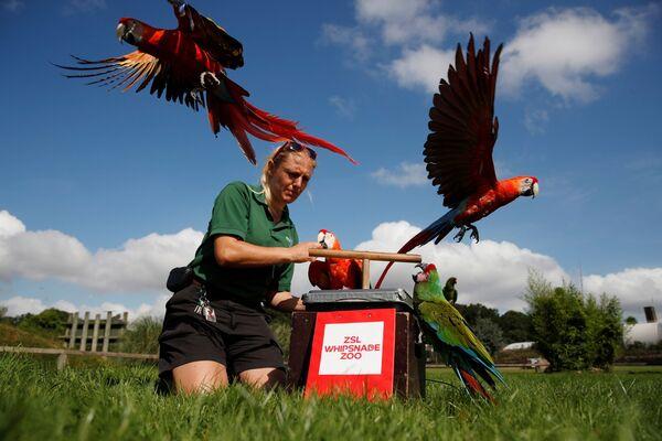 Una dipendente dello zoo, Liz Brown, incita un'ara scarlatta a rimanere su una bilancia. - Sputnik Italia