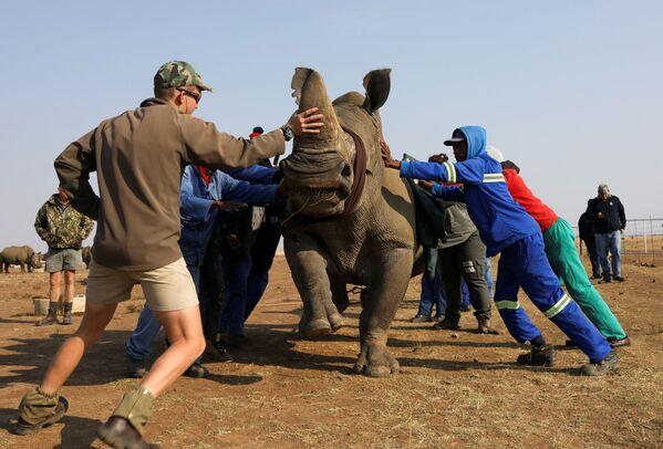 I lavoratori tentano di adagiare a terra un rinoceronte sedato prima di decornarlo. - Sputnik Italia