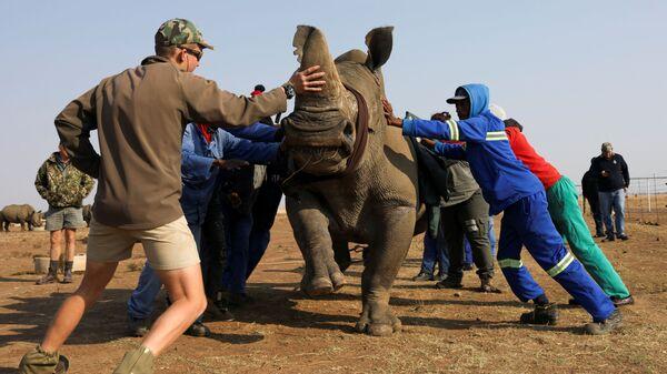 Рабочие заповедника успокаивают носорога перед операцией по спиливанию рога - Sputnik Italia
