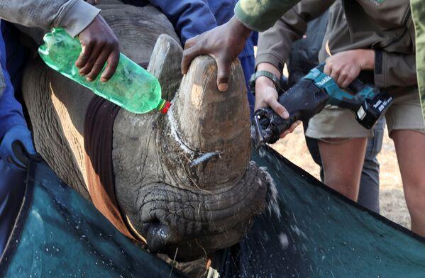 Un rinoceronte anestetizzato viene decornato al Buffalo Dream Ranch, il più grande santuario privato per rinoceronti del continente, a Klerksdorp, nella provincia nord-occidentale del Sudafrica. - Sputnik Italia