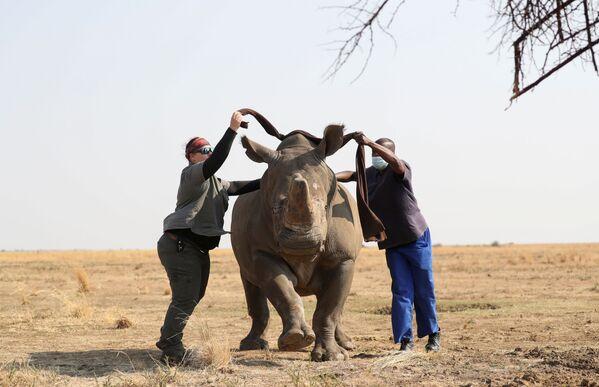 La veterinaria, dott. Michelle Otto, e il suo assistente Patrick bendano un rinoceronte anestetizzato prima di decornarlo. - Sputnik Italia