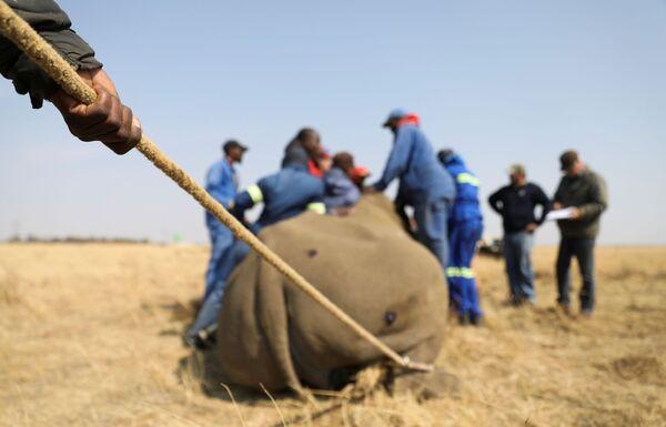 Un uomo tiene una corda, mentre un rinoceronte anestetizzato viene decornato al Buffalo Dream Ranch, il più grande santuario privato per rinoceronti del continente, a Klerksdorp, nella provincia nord-occidentale del Sudafrica. - Sputnik Italia
