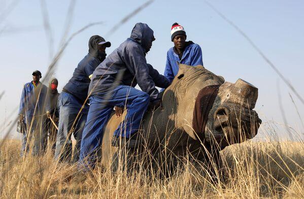 Gli operai tengono fermo un rinoceronte senza corno. - Sputnik Italia