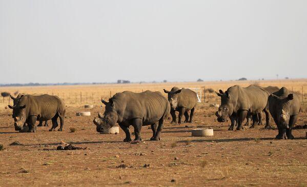 I rinoceronti al Buffalo Dream Ranch, il più grande santuario privato di rinoceronti nel continente, Sudafrica. - Sputnik Italia