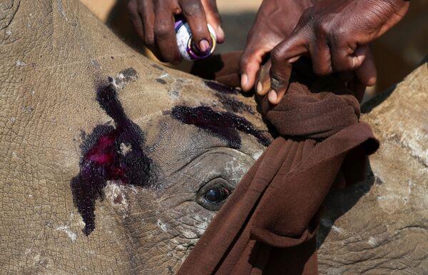Un cucciolo di rinoceronte sedato viene curato prima di essere trasferito in 'orfanotrofio'. - Sputnik Italia
