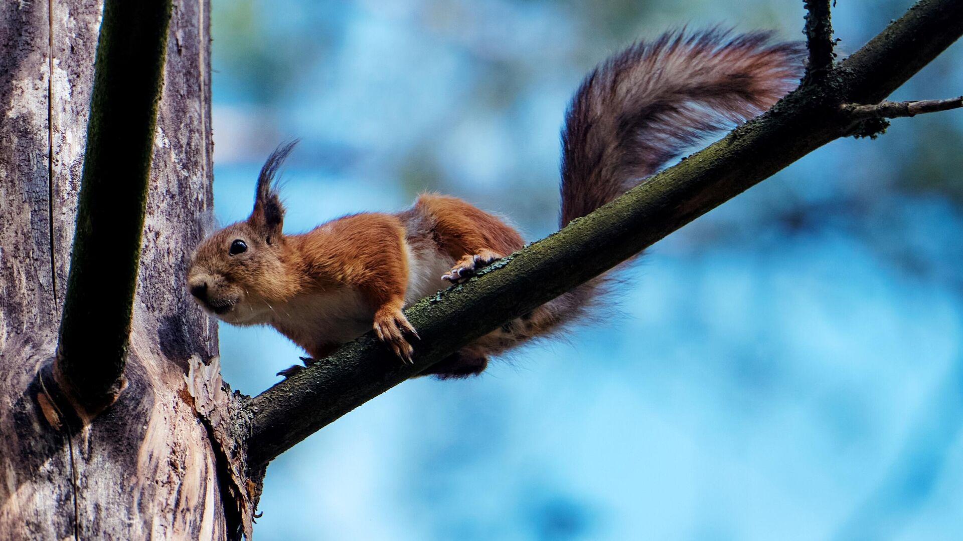 Uno scoiattolo su un albero - Sputnik Italia, 1920, 17.09.2021