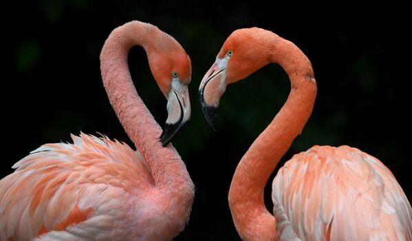 """Due fenicotteri stanno """"vicini-vicini"""" nello zoo di Hellabrunn, a Monaco di Baviera - 16 ottobre 2020. - Sputnik Italia"""