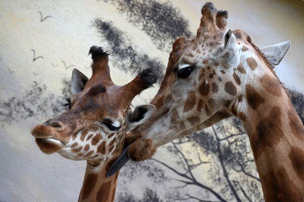 Kano, La piccola giraffa del Niger di appena tre mesi, intenta a farsi lavare da sua madre Dioni, 17 anni, nel parco zoologico Zoo de la Fleche, nel nord-ovest della Francia - 4 maggio 2021. - Sputnik Italia