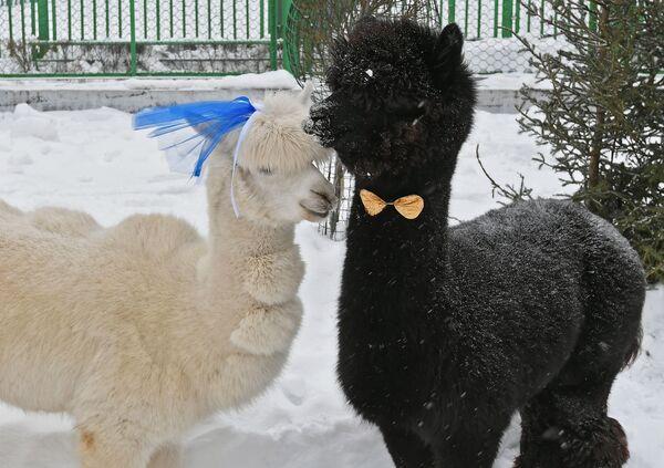 """Gli alpaca Romeo e Giulietta, """"vicini-vicini"""" come sposini per festeggiare San Valentino nel parco Royev Ruchey a Krasnoyarsk, Russia. - Sputnik Italia"""