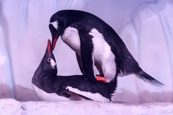 """Due pinguini """"vicini-vicini"""" all'acquario Sea Life Bangkok Ocean World, Thailandia - 21 aprile 2021. - Sputnik Italia"""