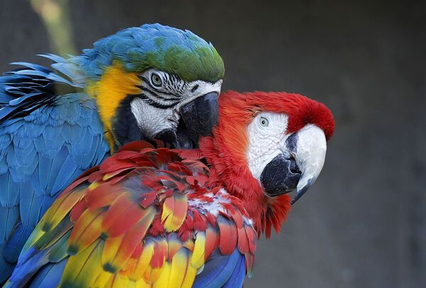 """Una coppia di pappagalli Ara, anch'essi """"vicini-vicini"""", al Parco Faunistico Le Cornelle, a Valbrembo, in provincia di Bergamo - venerdì 17 febbraio 2017. - Sputnik Italia"""
