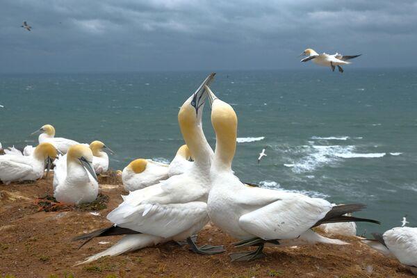 """Alcune sule """"vicine-vicine"""" su una scogliera dell'isola settentrionale tedesca Helgoland. - Sputnik Italia"""