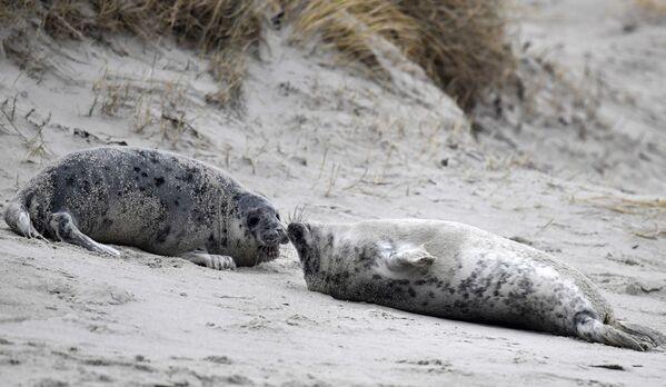 """Due foche grigie """"vicine-vicine"""" sulla spiaggia dell'isola di Helgoland, nel Mare del Nord, in Germania - 5 gennaio 2020. - Sputnik Italia"""