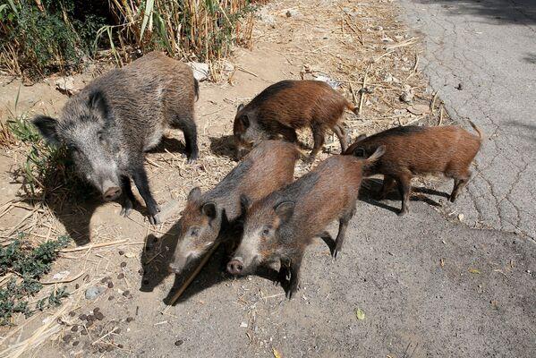 I residenti si lamentano che questi animali rendono pericoloso portare a spasso i loro cani. - Sputnik Italia