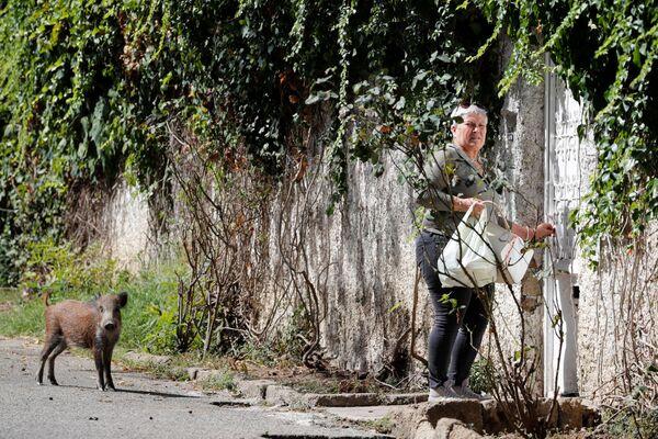 I cinghiali sono attratti dalla spazzatura sparsa per le strade di Roma e sono diventati comuni nella regione. - Sputnik Italia
